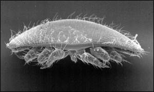 Varroa mite, BBC